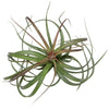 'Heather's Blush' Air Plants
