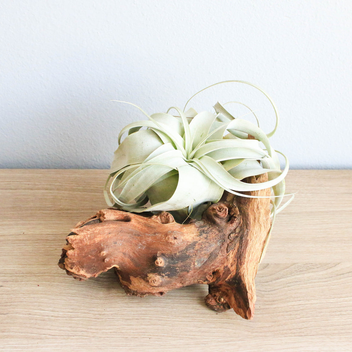 Small African Mopani Wood Display with Xerographica Mini Air Plant