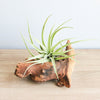 Wholesale - Mini Mopani Wood Display with Custom Tillandsia Air Plant
