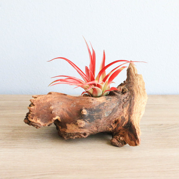 Small African Mopani Wood Display with Large Red Abdita Air Plant
