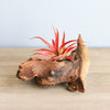 Mini African Mopani Wood Display with Large Red Abdita Air Plant