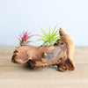 Mini African Mopani Wood Display - Choose Your Custom Tillandsia Air Plant