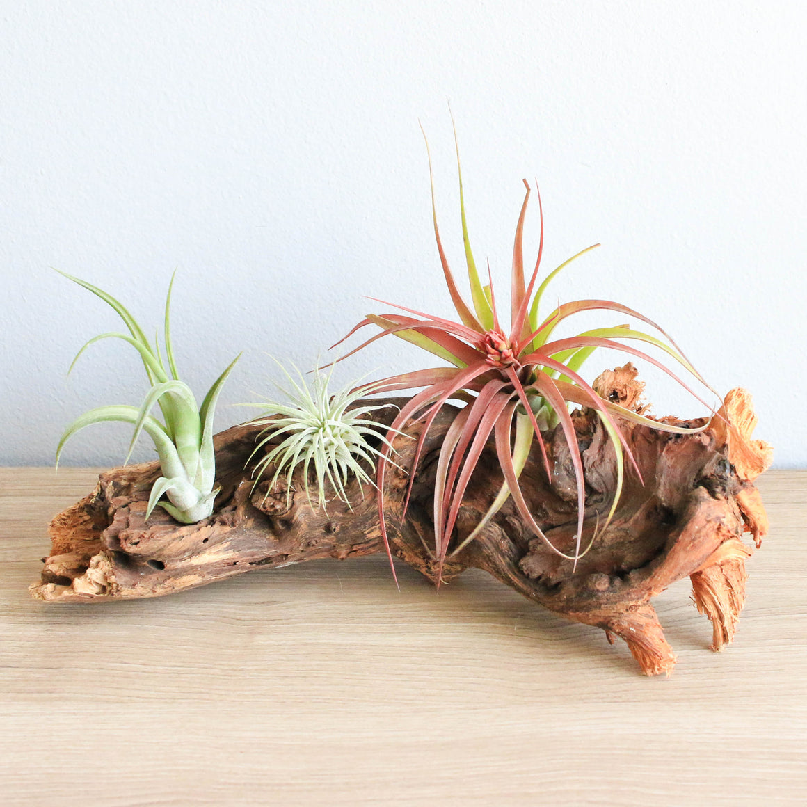 Medium African Mopani Wood - Choose Your Custom Tillandsia Air Plants