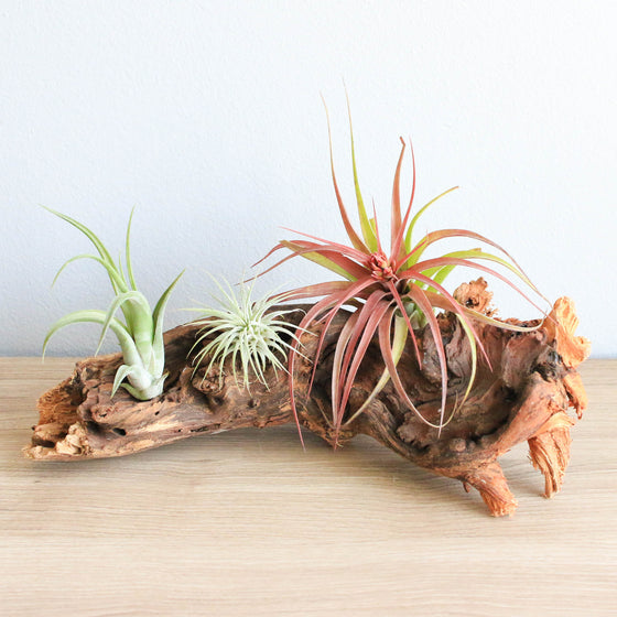 Large African Mopani Wood with 3 Air Plants: Streptophylla Hybrid, Ionantha Guatemala, & Circinata