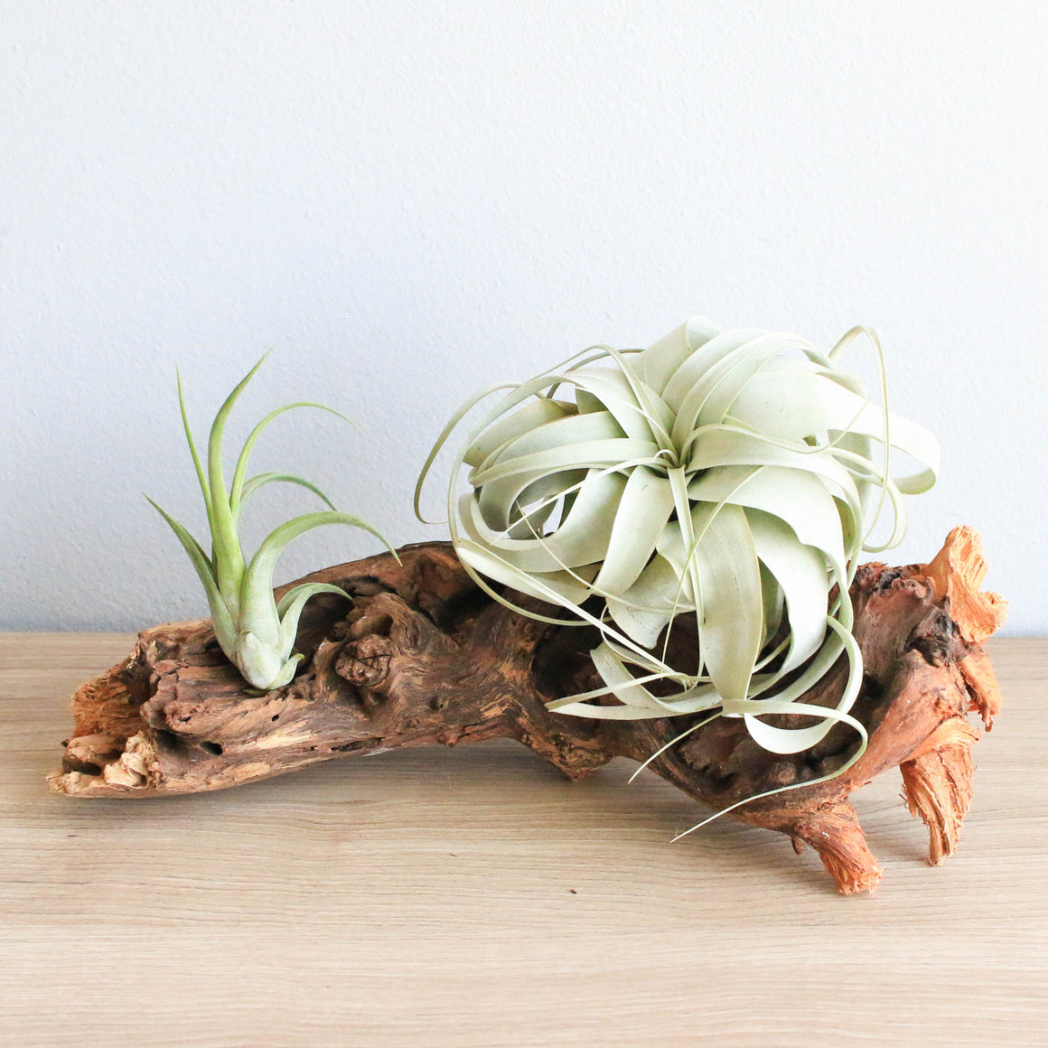Medium African Mopani Wood 2 Air Plants: Large Xerographica & Circinata