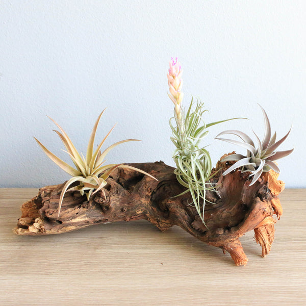 Wholesale - Mopani Wood with Assorted Air Plants