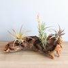 African Mopani Wood - Great Display for Tillandsia Air Plants - Select Your Custom Size