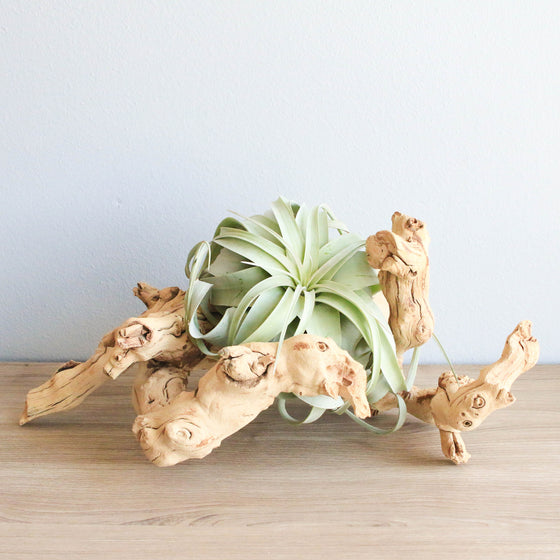 Wholesale - Sandblasted Grapevine Wood with Medium Xerographica Air Plant