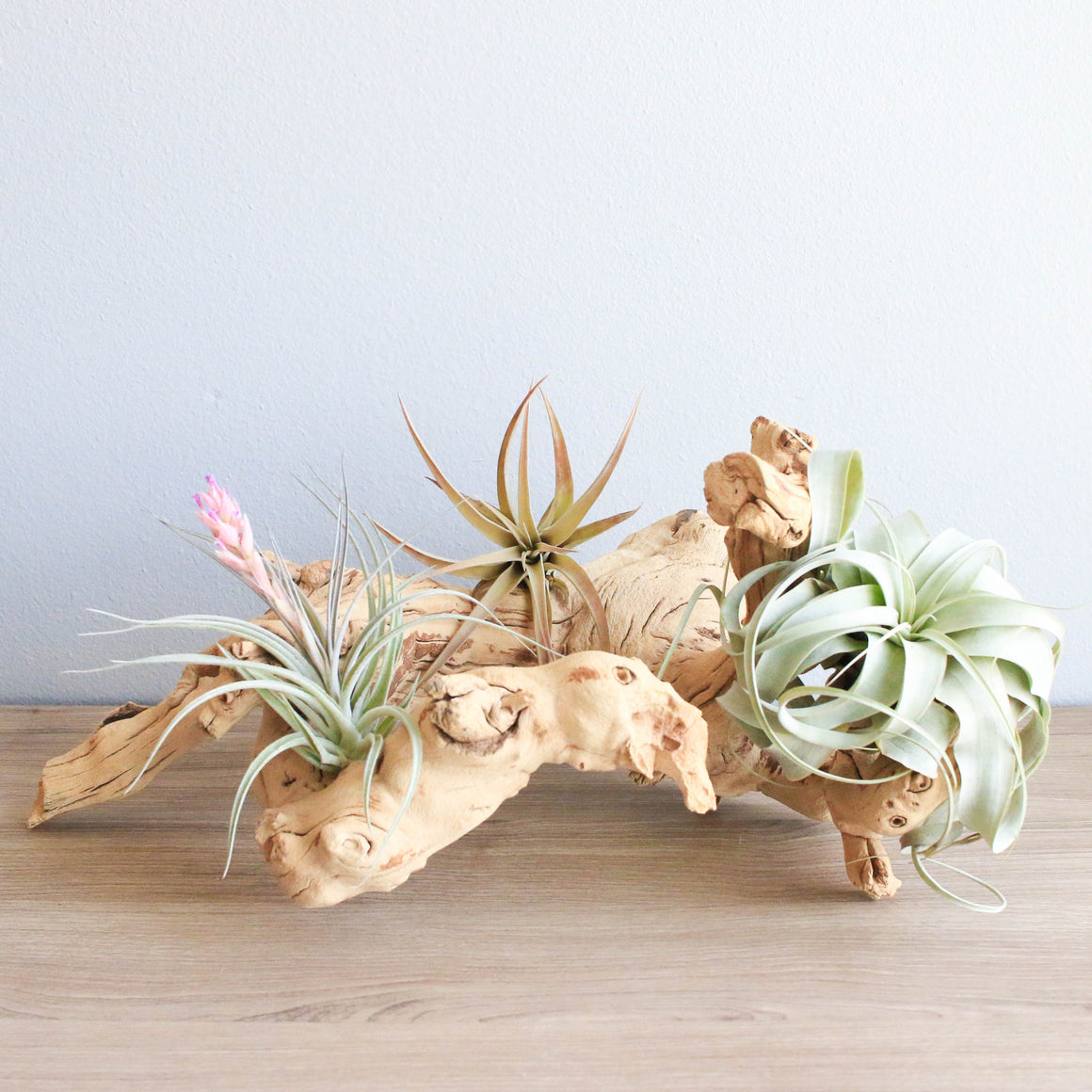 Medium Grapevine Wood with Xerographica, Capitata Peach, and Stricta Hybrid Air Plants