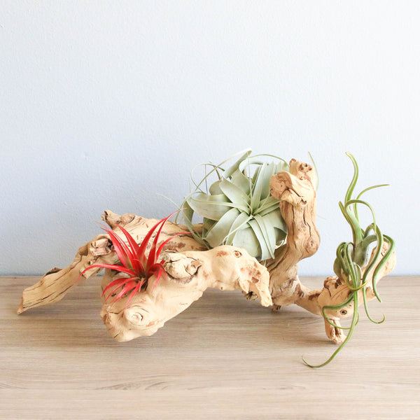 Wholesale Sandblasted Grapevine Wood with Assorted Air Plants