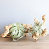 Large Grapevine Wood - Choose Your Custom Tillandsia Air Plants