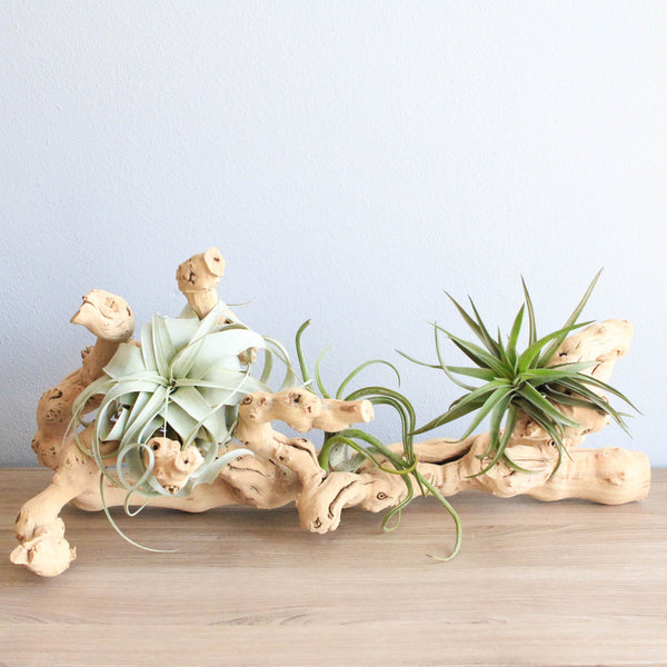 Large Grapevine Wood with Xerographica, Caput Medusae, and Sparkler Air Plants