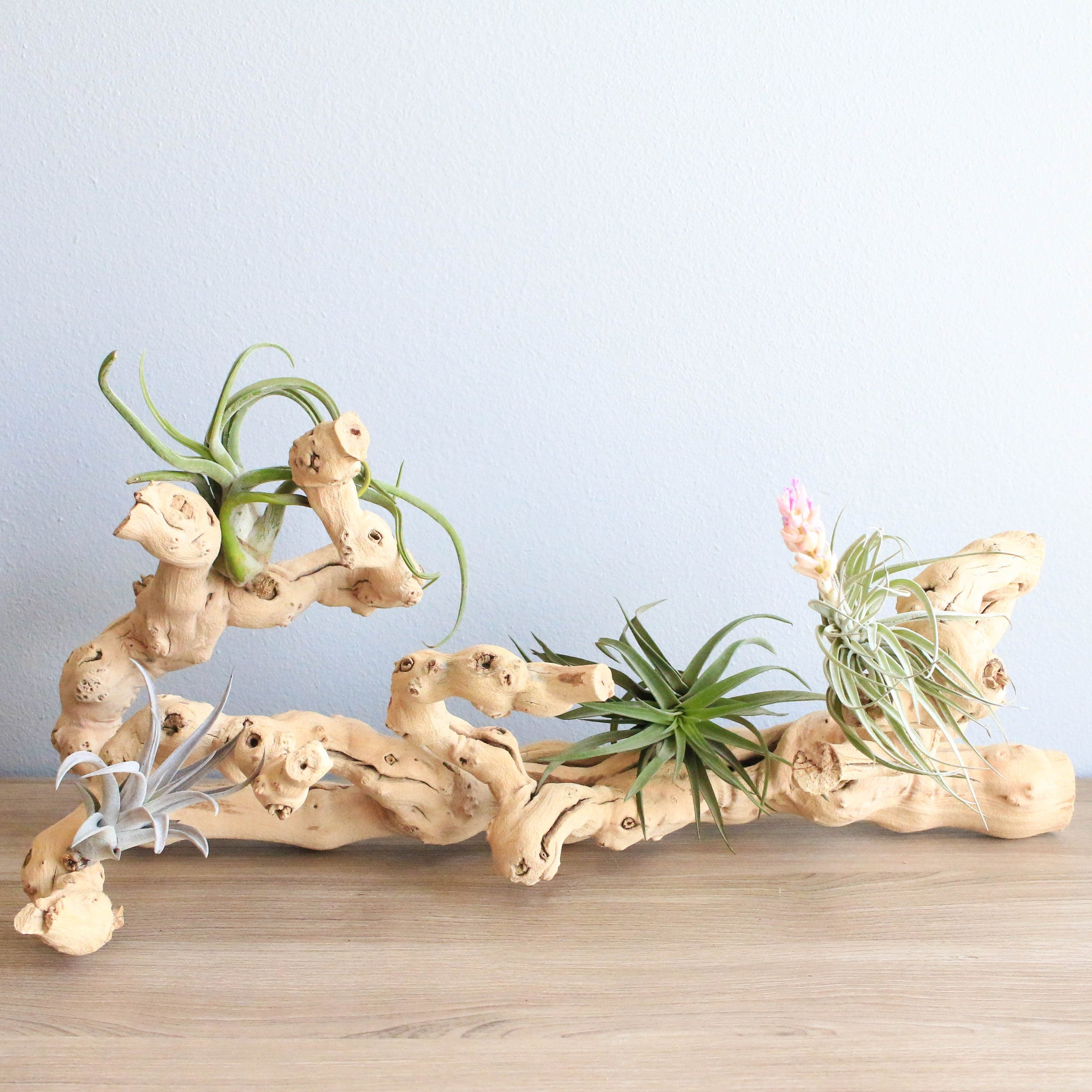 Shop Air Plant Displays For Tillandsia Terrariums Driftwood Ceramic