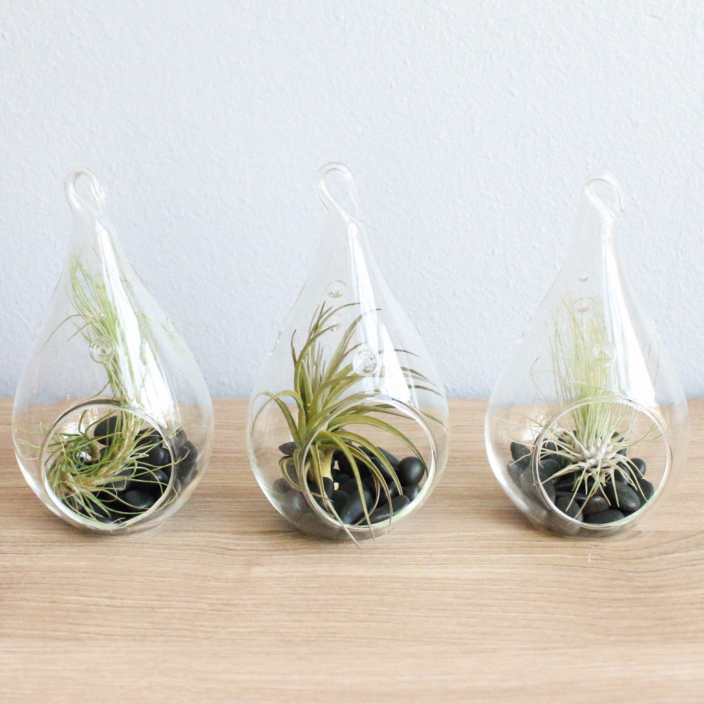 Wholesale - Funky Teardrop Terrariums with Air Plants & Black Stones
