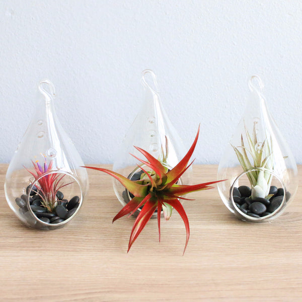 The Red Hots Complete Teardrop Terrariums