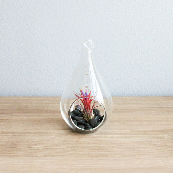 Wholesale - Teardrop Terrariums with Ionantha & Black Stones