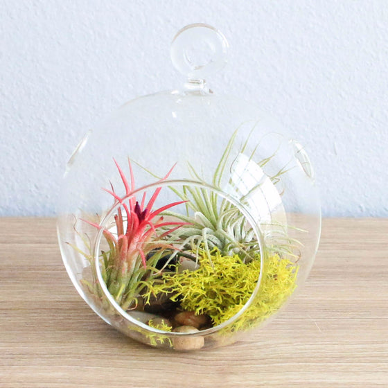 Wholesale Terrarium Sets - Each Terrarium Includes Glass Globe, 2 Air Plants, Stones & Moss Accent