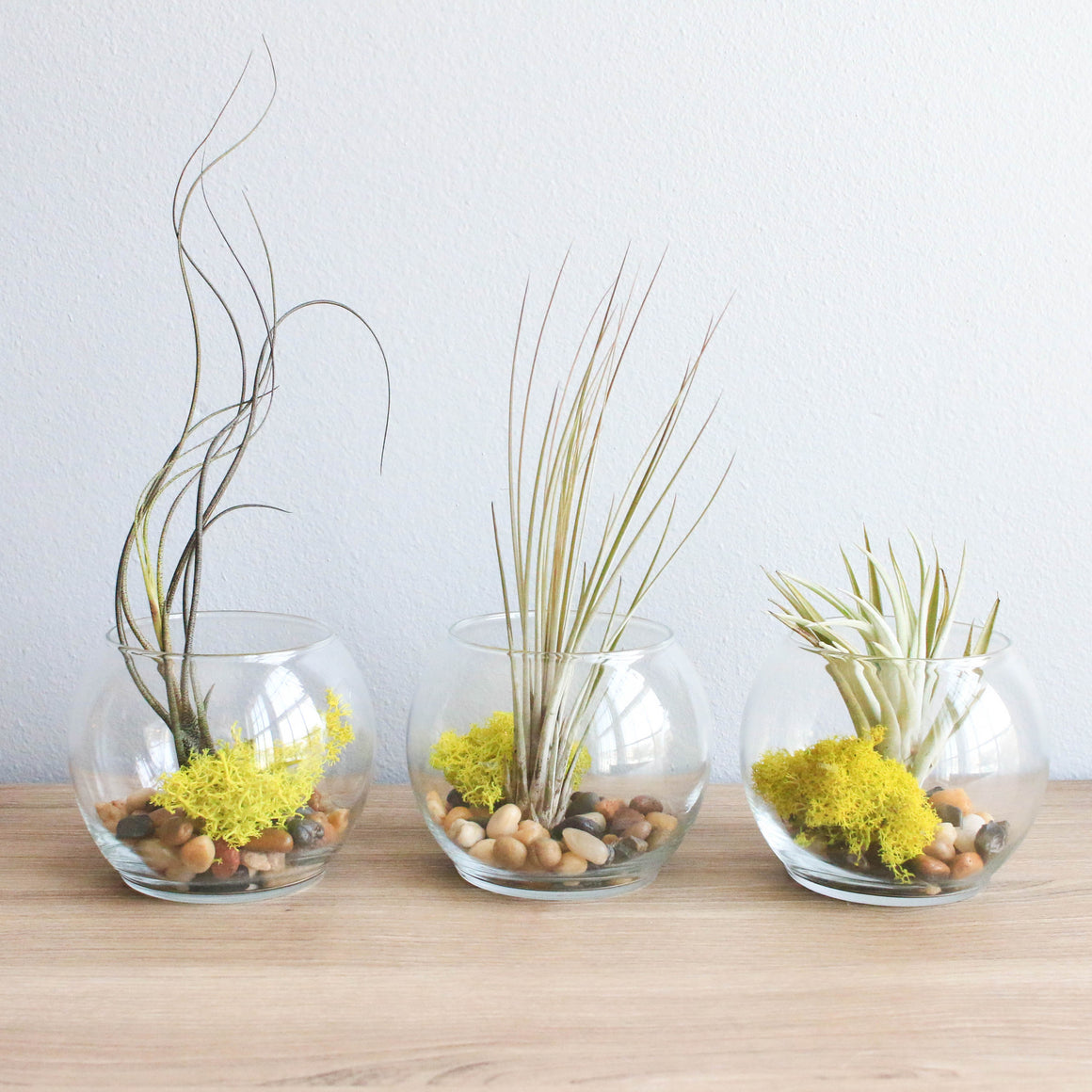 Complete Bubble Trio Terrariums with Juncea, Butzii, and Harrisii Air Plants