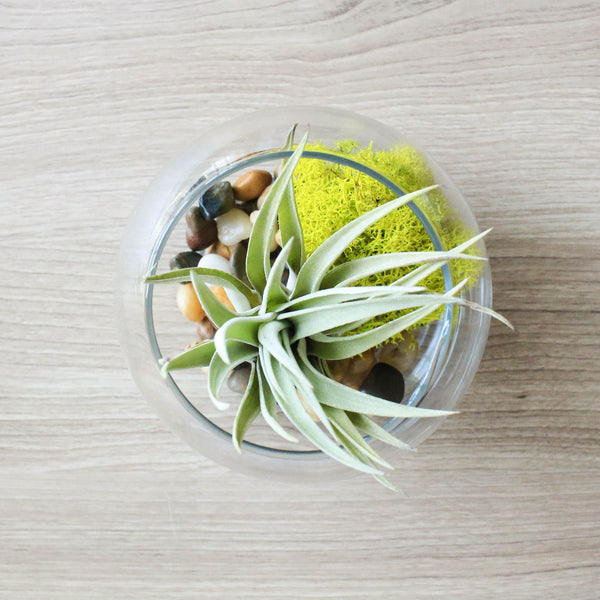 Wholesale Trio Bubble Terrariums with Air Plants