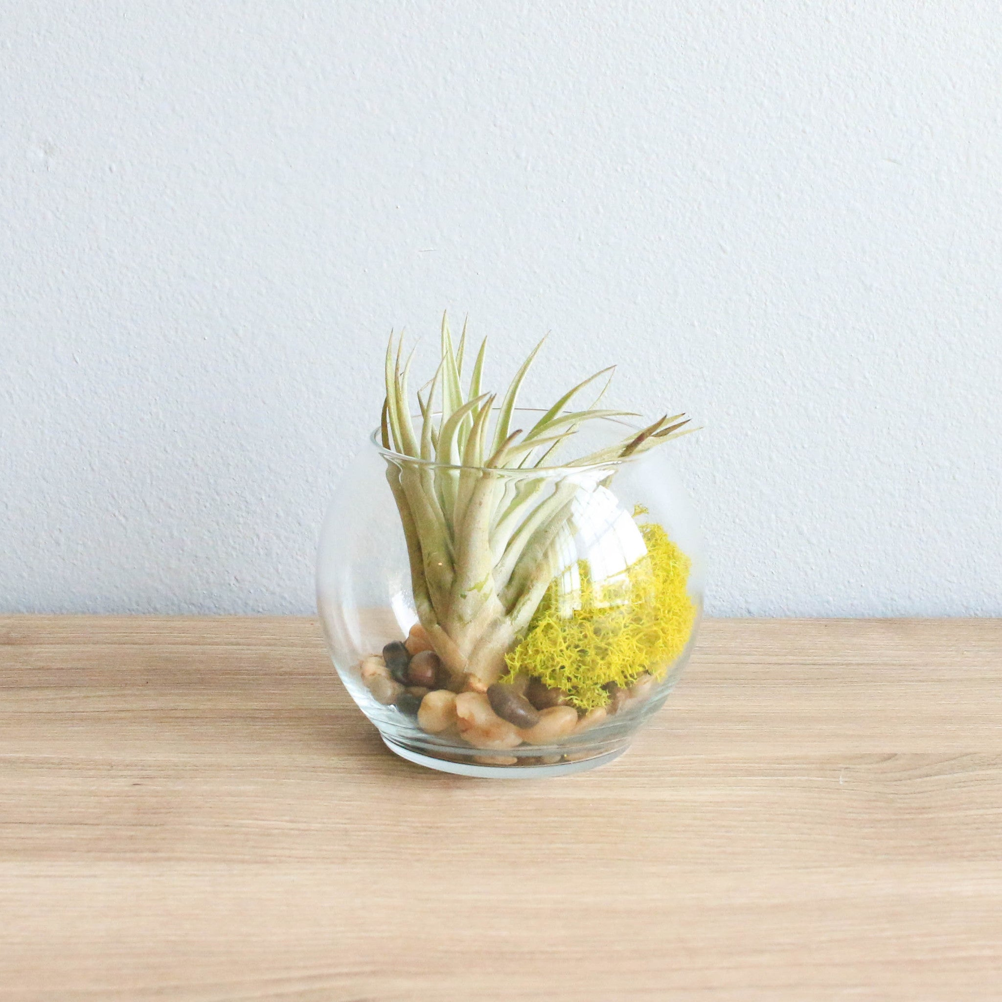 Air Plant Terrarium Harrisii Air Plant Terrarium Air Plant Supply Co