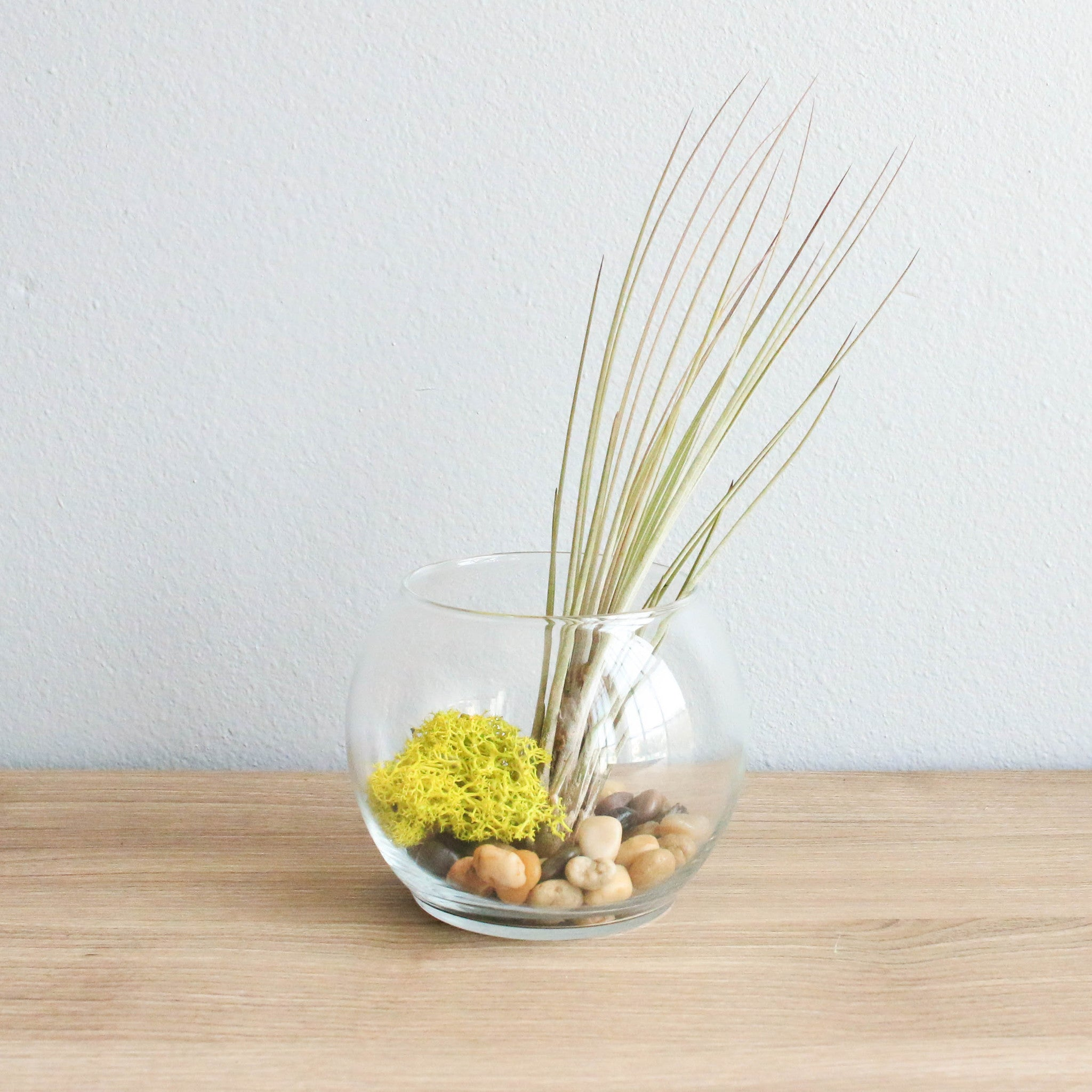 Air Plant Terrarium Juncea Air Plant Terrarium Air Plant Supply Co