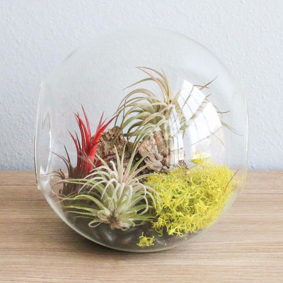 Large Hand-Blown Glass Terrarium with 3 Ionantha Air Plants