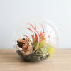 Large Hand-Blown Glass Terrarium with Red Abdita & Ionantha Guatemala