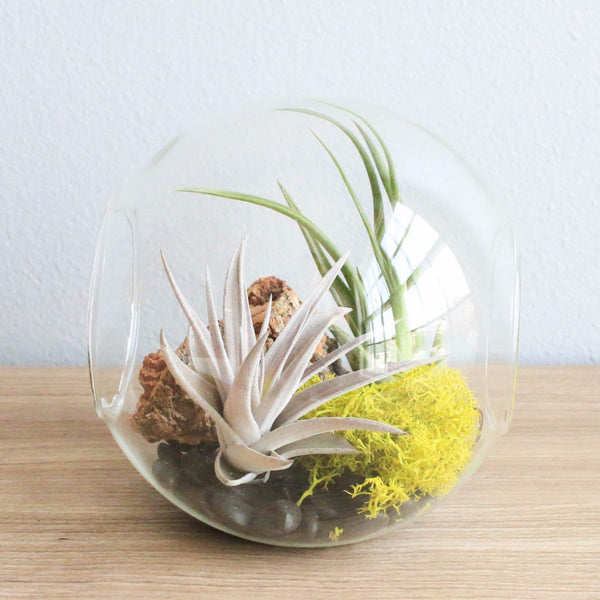 Large Hand-Blown Glass Terrarium with Circinata & Harrisii