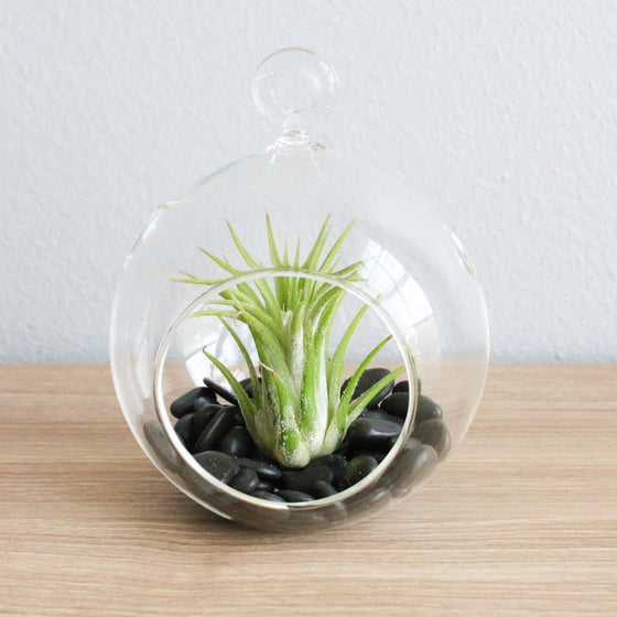 Wholesale - Air Plant Terrariums with Flat Bottom Globe & Black Stones