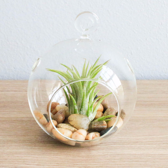 Terrarium Globe with Flat Bottom, Air Plant & River Stones