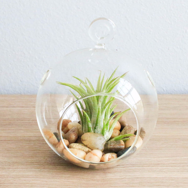 Wholesale Air Plant Terrariums - Flat Bottom Globe & River Stones