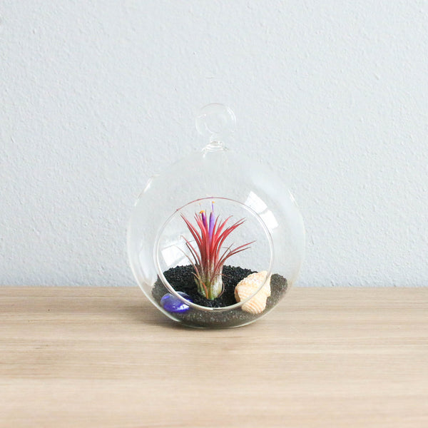 Wholesale - Black Beach Terrariums with Flat Bottom Globe
