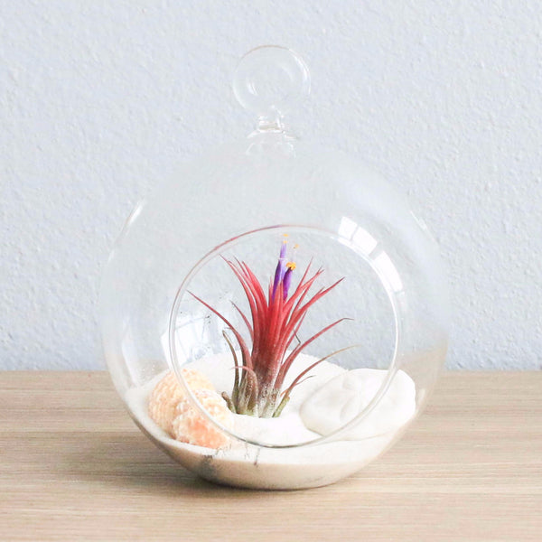 Air Plant Beach Terrarium in Flat Bottom Globe with White Sand