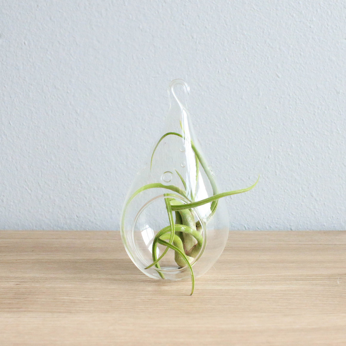 Minimalist Terrarium in a Glass Teardrop - Choose Your Custom Tillandsia Air Plant