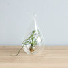 Wholesale - Minimalist Terrarium in a Glass Teardrop - Choose Your Custom Tillandsia Air Plant