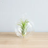 Wholesale - Minimalist Terrarium in Flat Bottom Globe - Choose Your Custom Tillandsia Air Plant