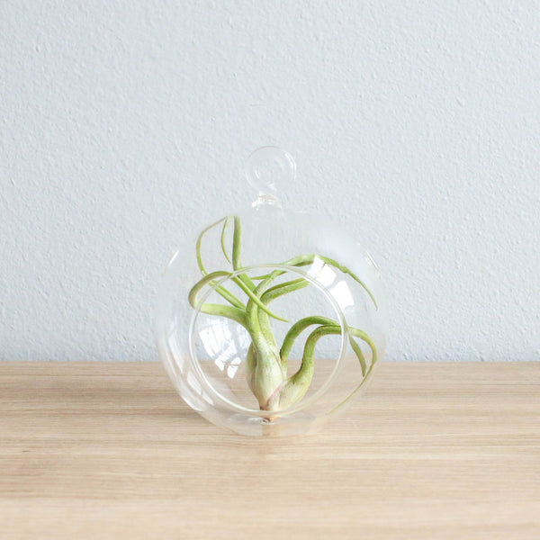 Wholesale - Hanging Flat Bottom Glass Terrariums