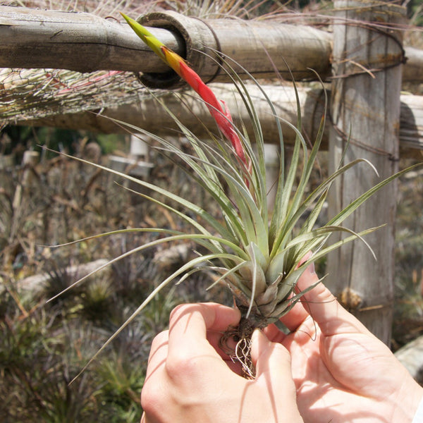 Fasciculata Tricolor Golden Torch Air Plants