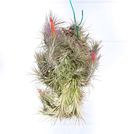Tillandsia Funckiana Air Plant / Large Hanging Cluster