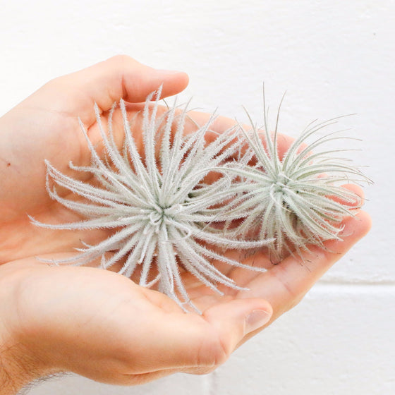 Wholesale - Tillandsia Tectorum Ecuador Air Plants