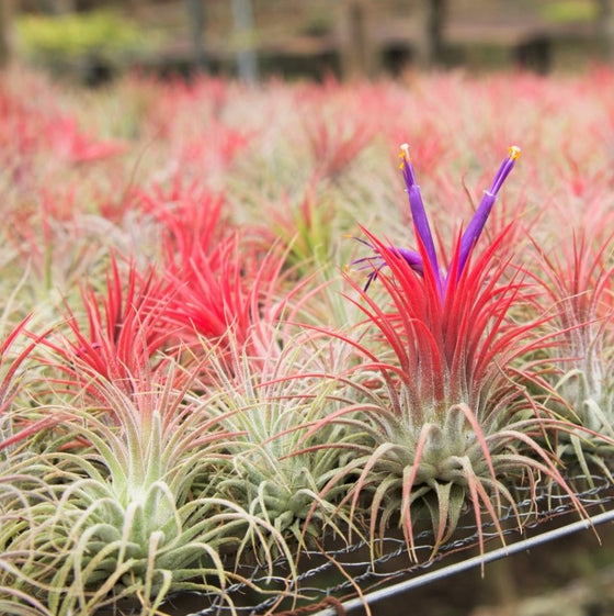SALE - Large Ionantha Super Packs - 70% Off 20, 30 or 50 Air Plants