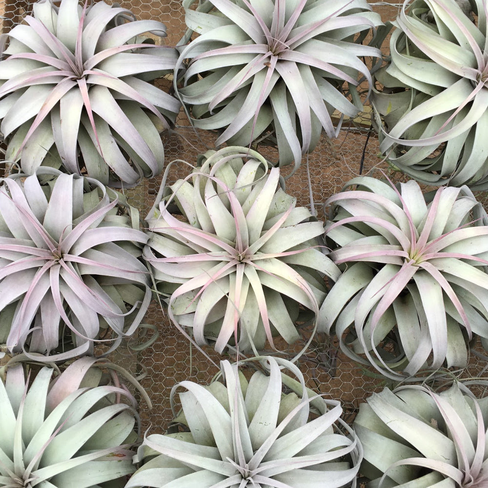SALE - Spectacular Jumbo Xerographica - 8 to 10 Inches Wide - Set of 3 or 6 - 40% Off