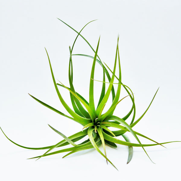 'Cuicatlán' Air Plants - Rare