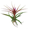 Collector's Choice Collection of Air Plants