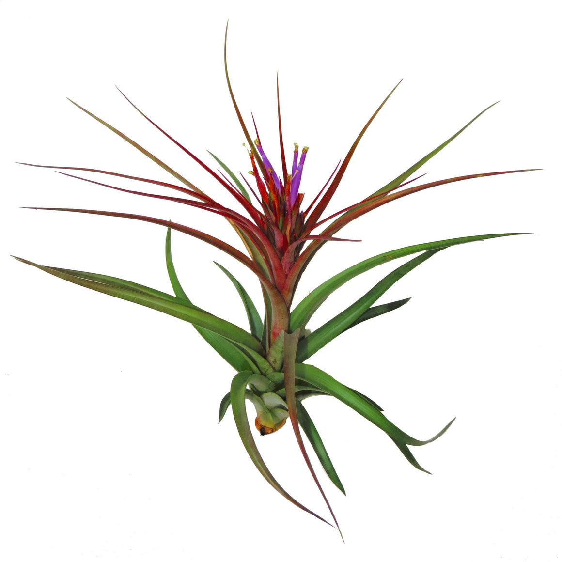 Tillandsia 'Sparkler' Air Plants