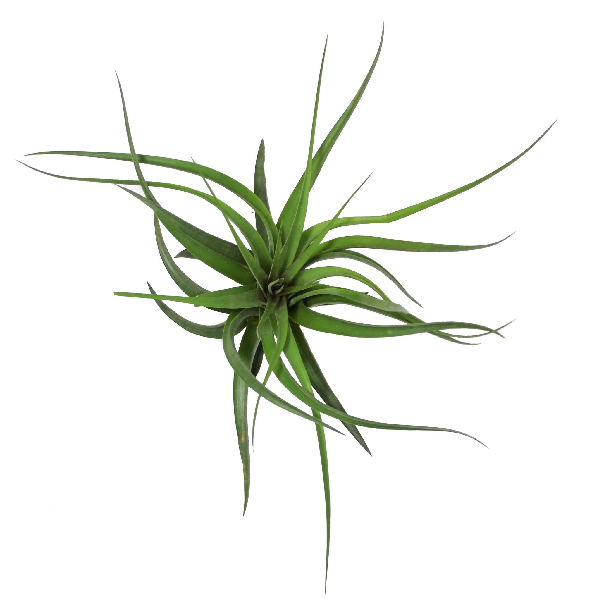 39 sparkler 39 air plants air plant supply co for Air plant planters
