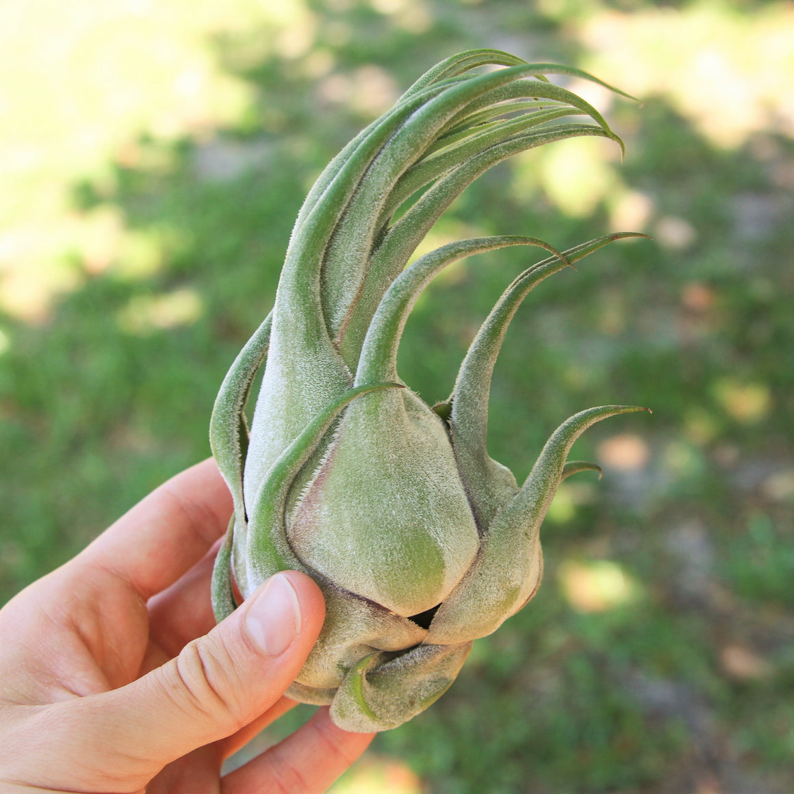 Wholesale Special Air Plants - Jumbo Tillandsia Seleriana Air Plants / 6-8 Inches Tall