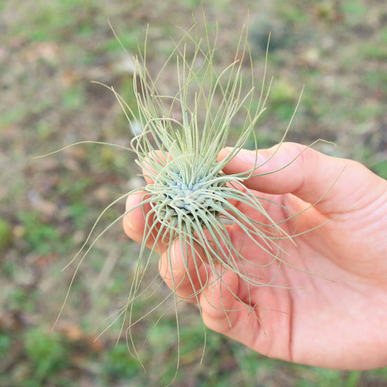 SALE - Set of 5 or 10 Tillandsia Argentea Thin Air Plants - 50% Off
