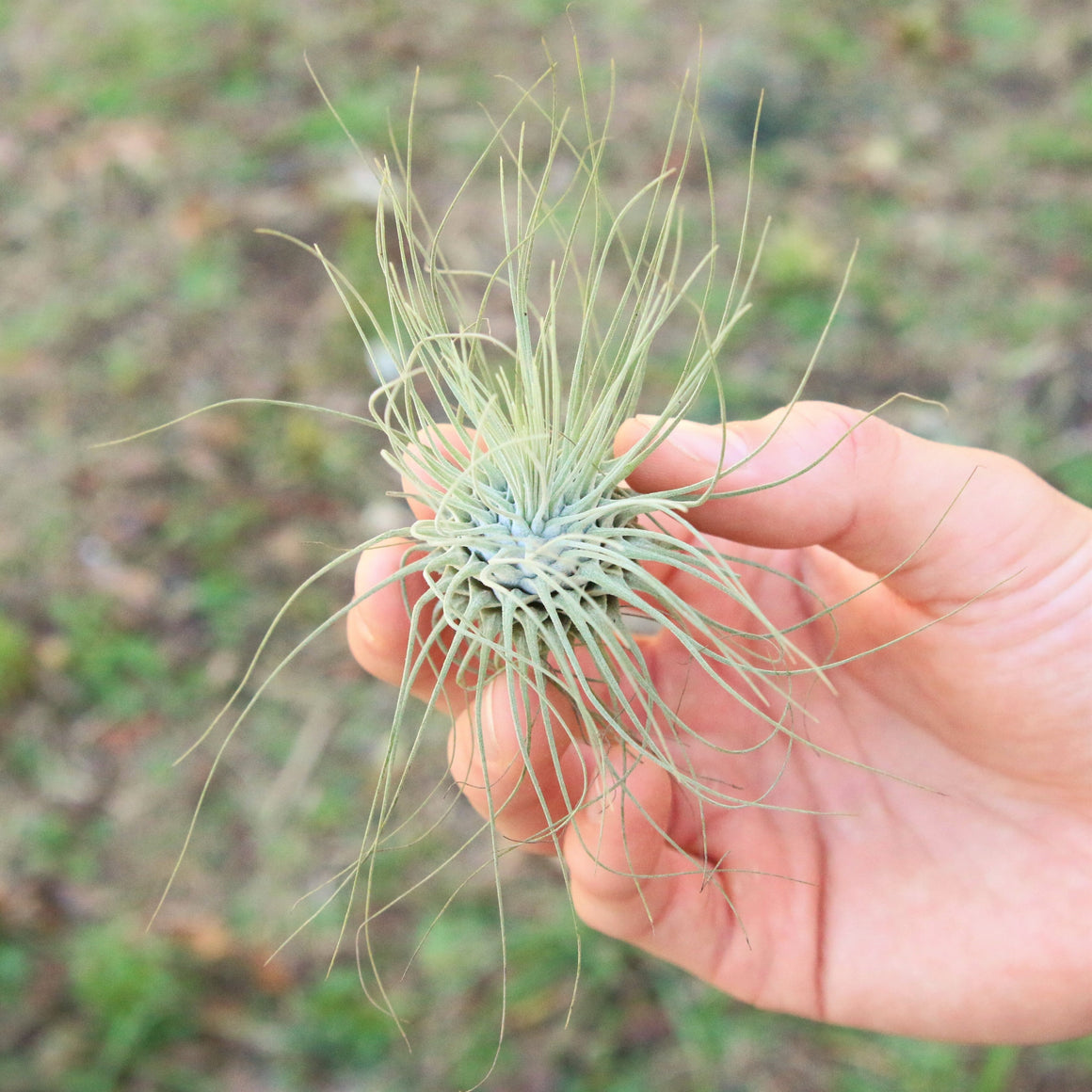 Wholesale - Tillandsia Argentea Thin Air Plants