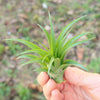 SALE - Abdita Brachycaulos Air Plants - Thick Leaf Variety - 60% Off Sets of 10, 20 or 30